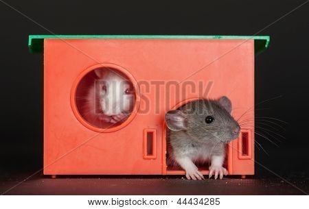 Baby Rats In The Red House