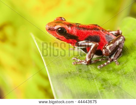 red strawberry poison dart frog tropical amphibian from jungle of Panama. These rain forest animals are poisonous pets kept in a terrarium.