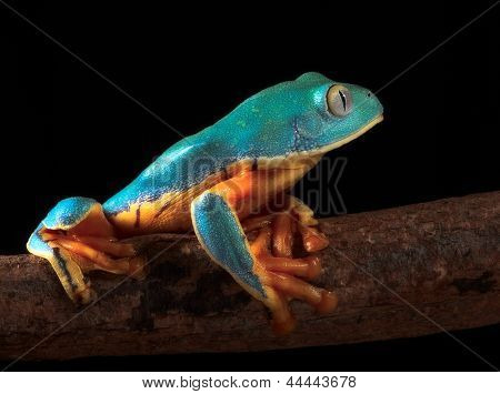 tree frog, Cruziohyla or Phyllomedusa calcarifer, climbing branch tropical  Amazon rain forest. This tropical amphibian species lives rainforest of Colombia, Costa Rica, Ecuador, Nicaragua and Panama