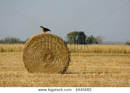 Hawk On A Hay Bail