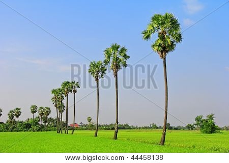 Rice Fields, Sugar Palm.