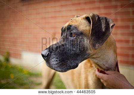 Great dane standing next to brick wall