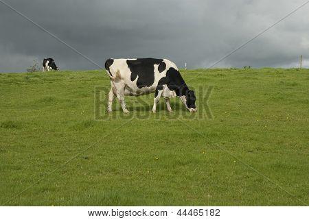 Dairy Farm Cows Uk