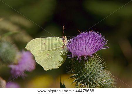 butterfly Common Brimstone on  flower