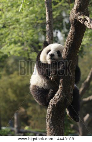 Panda Cub Sleeping On A Tree.version