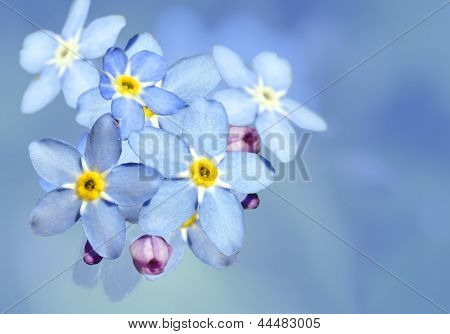 Forget-me-not Flower Over Blue