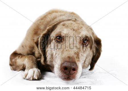 Portrait Of Brown Eyed Dog