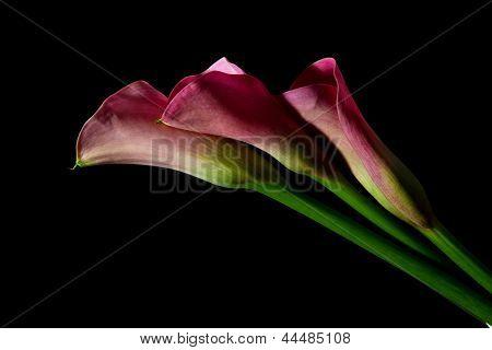 Three Pink Arum Lily