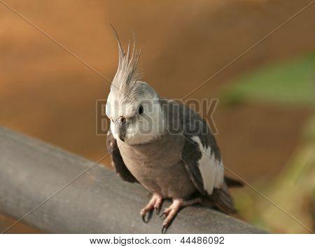 Close Up Of Cockatiel Bird