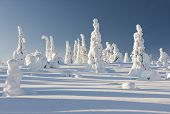 pic of laplander  - Snowy forest with slim tall trees and blue sky in Lapland Finland - JPG