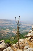 picture of golan-heights  - Silybum marianum also known as Milk Thistle Holy Thistle and Blessed Thistle - JPG