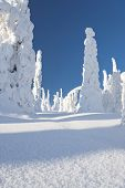 stock photo of laplander  - Snowy forest with slim tall trees and blue sky in Lapland Finland - JPG