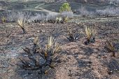 burnt yucca and bushes after Galena wildfire in Lory State Park near Fort COllins, Colorado, green g