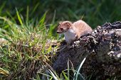 stock photo of ermine  - Weasel  - JPG