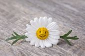stock photo of chamomile  - Chamomile flower on a grey wooden background - JPG