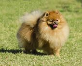 foto of pomeranian  - A small orange pomeranian dog standing on the grass and playfully sticking its tongue out - JPG