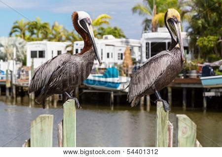 Pelican in Florida
