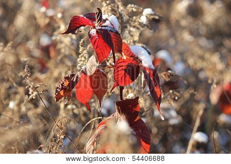 Red Poison Oak Leaves in Fall with Fresh White Snow