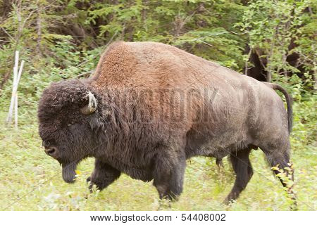 Male Wood Buffalo Bison Bison Athabascae Walking