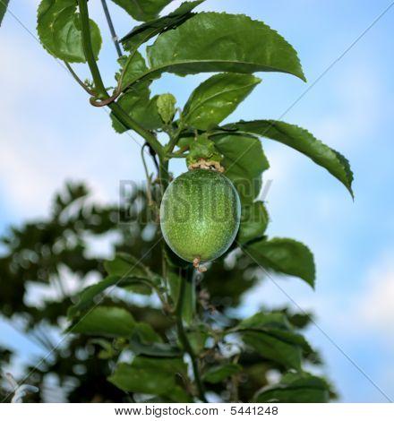 Tropical Fruit Maracuya