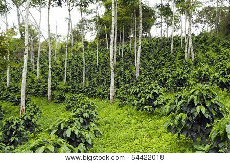 Coffee bushes in a shade-grown organic coffee plantation