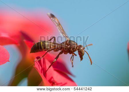 Brown Paper Wasp Taking Flight