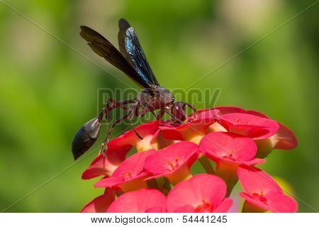 Large Paper Wasp