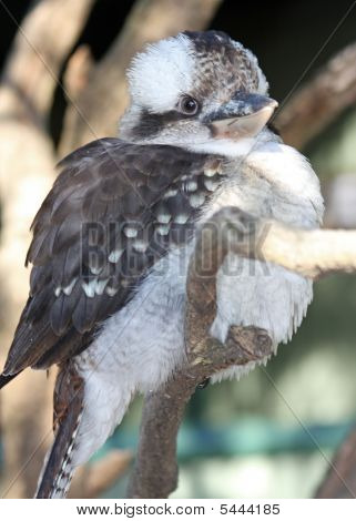 Mr.Kookaburra