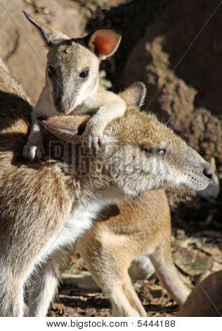 Australian Rock Wallaby and her joey.