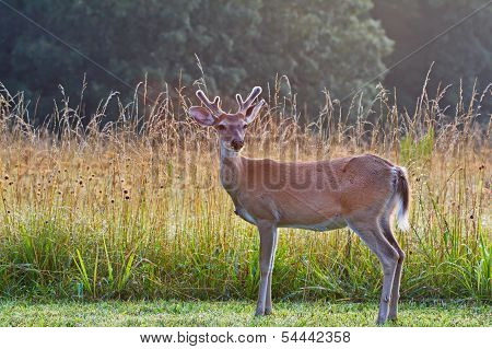 Young buck deer by tall grasses