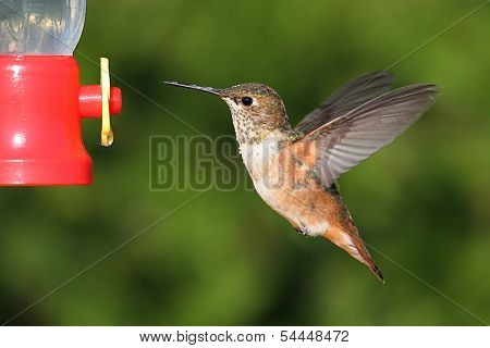 Allens Hummingbird (selasphorus Sasin)