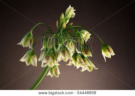 Nectaroscordum Siculum (honey Garlic, Sicilian Honey Lily)