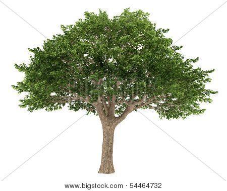 Tree isolated. Schinus terebinthifolius