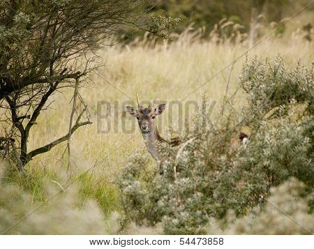 European Roe Deer (capreolus Capreolus) Hiding Behind The Bushes In The Waterleidingduinen, The Neth