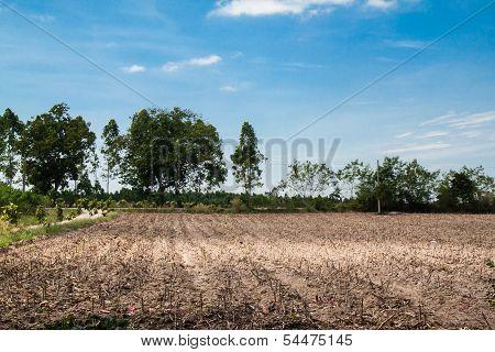 Tapioca Plantation, Manioc Plantation, Cassava Plantation,