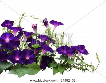 Morning Glory Plant