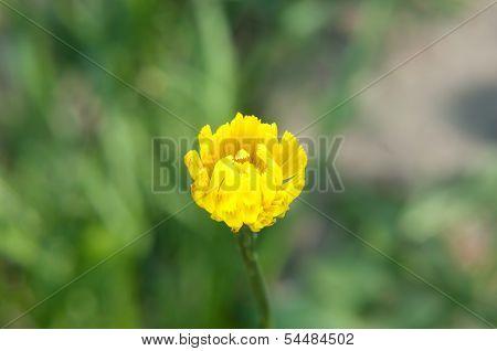 Taraxacum Officinale Bud