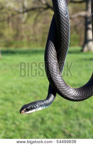 Southern Black Racer Snake Hanging Over Landscape
