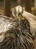 foto of ostrich plumage  - Portrait of a greater rhea  - JPG