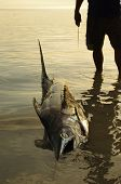 picture of swordfish  - Fisherman with his gigantic fresh catch posing on the beach a large swordfish