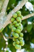 picture of lanzones  - cluster of unripe lansones  - JPG