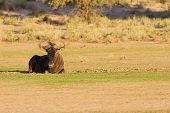 Lone Blue Wildebeest Resting On A Pan In The Kalahari