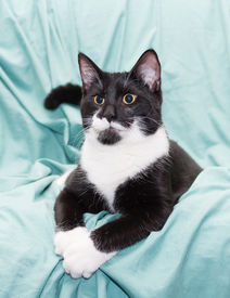 picture of swagger  - Black and white cat with yellow eyes lying swaggered on pale green background - JPG