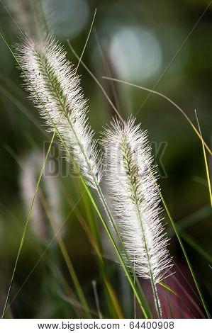 Flowers Of Dwarf Foxtail Grass In Morning Sun