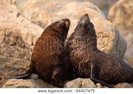 Fur Seals Calling