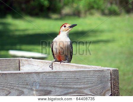 Red bellied red headed wood pecker bird