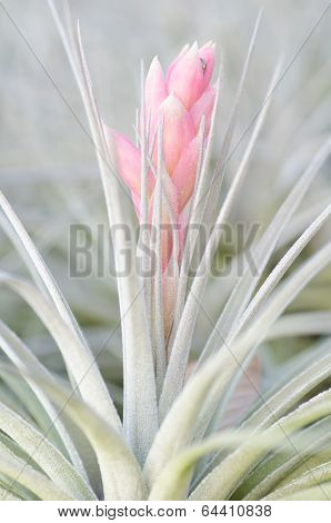 Bromeliad  (tillandsia)