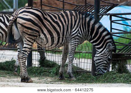 Zebra Chapman (equus Quagga Chapmani)