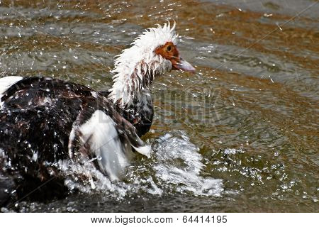 Muscovy Ducks (carina Moschata)