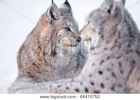 Two lynx rests in the snow